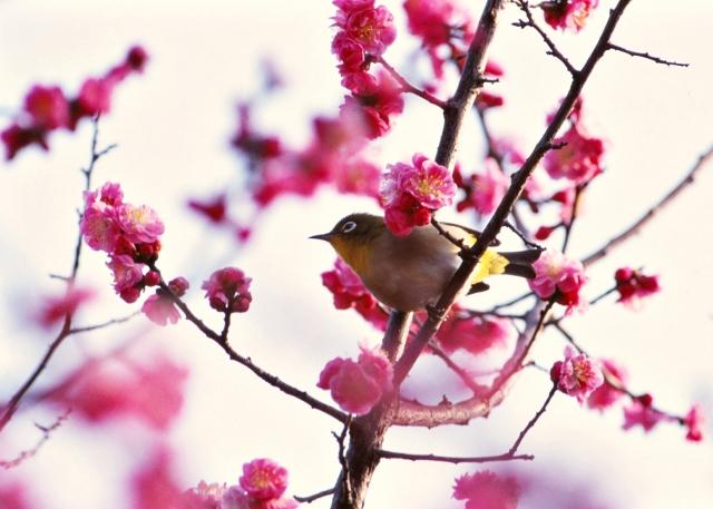 平九郎手折りの梅樹